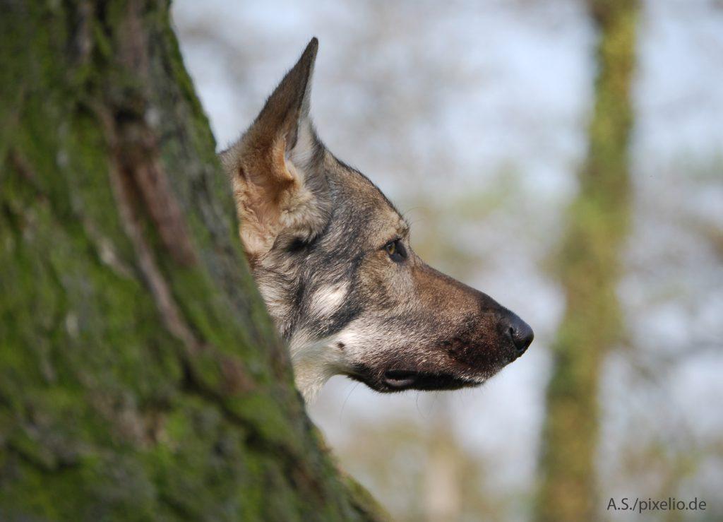 Wolfshund / www.pixelio.de (Copyright_A. S._pixelio.de)